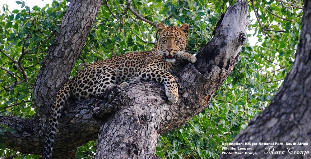 "Go to South Africa's Kruger National Park and see the big cats for yourself. Marc captured the image of this beautiful leopard ""three clicks past Lubye Lubye"" Image: MArc Cronje  Thanks Marc!"