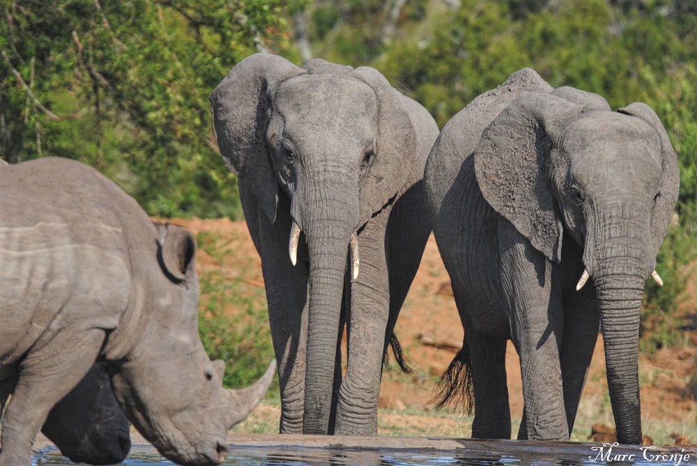 Kruger National Park is home to large elephant herds, as well as the greatest number of wild African rhinos in the world, Image: Marc Cronje, Independent Field Guide.