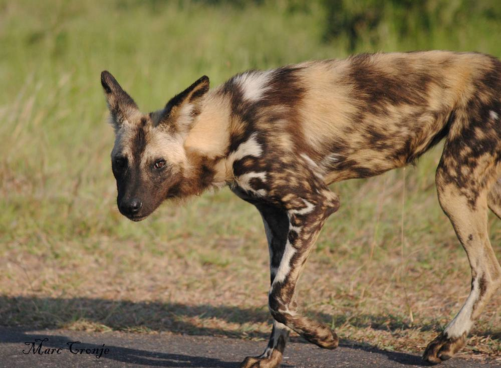 Kruger National Park is one of the few remaining places to see the endangered African painted dog. Image: Marc Cronje, Independent Field Guide