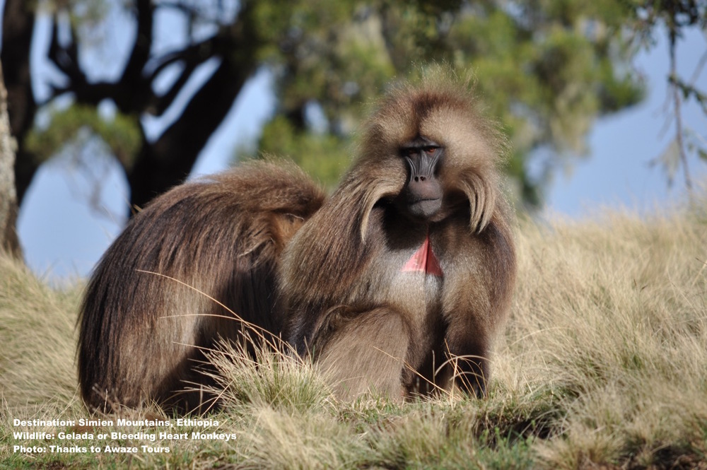 Unlikely Partnership: Gelada monkeys seem to make hunting mole rats easier for the wolves & Ethiopian wolves seem to scare away feral dogs bothering the monkeys. Image: Awaze Tours,  ethiopia