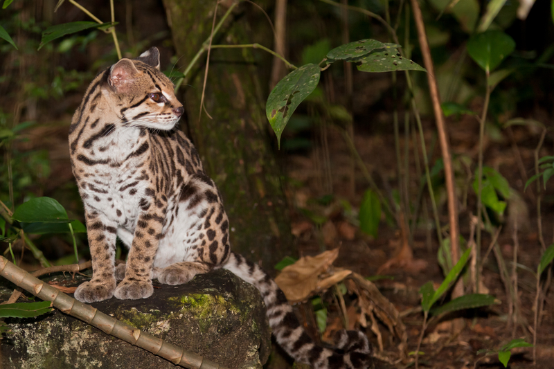 A PROTECTED RESIDENT OF COCKSCOMB BASIN WILDLIFE SANCTUARY. DURING THE 1960'S AND '70'S  200,000  OCELOT SKINS WERE TRADED ANNUALLY.  ©Tamifreed⎮DREAMSTIME.COM