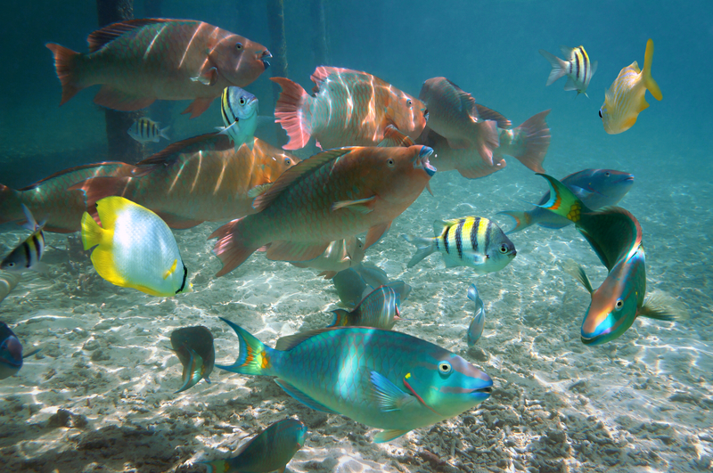 FISH GATHER AT GLADDEN SPIT & SILK CAYES MARINE PRESERVE TO SPAWN  ©SEAPHOTART⎮DREAMSTIME.COM