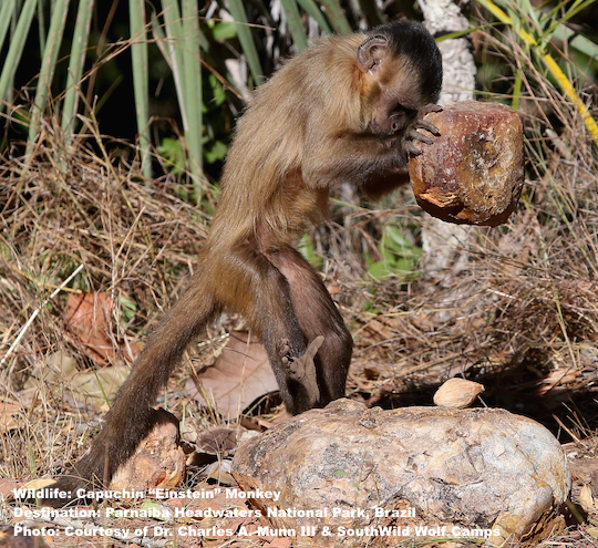 "Do not miss the tool using capuchin (dubbed ""Einstein"") monkeys when you visit Wolf Cliffs Camp, PHNP, Brazil  Image: Thanks to Dr. Charles A. Munn III & SouthWild Wolf Camps."