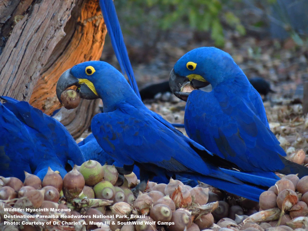 HYACINTH MACAWS CRACK NUTS WITH A MIGHTY CRASH! PHOTO: DR. CHARLES A MUNN III & SOUTHWILD WOLF CAMPS.