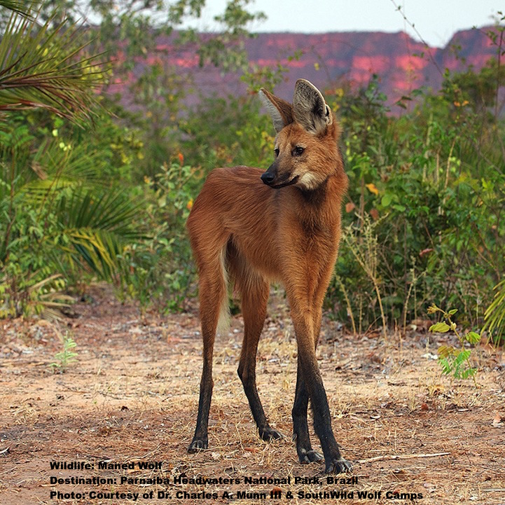 "Maned wolf. Their long legs and red coloring give them the nick-name ""Fox-On-Stilts,"" but their real name comes from the dark fur on their heads and necks. It stands up, resembling a mane, when they are agitated.  Image: Thanks to Dr. Charles Munn and  SouthWild Wolf camps ."