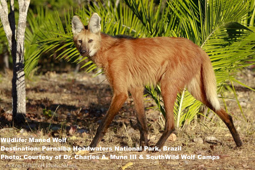 "On the prowl. Maned wolves are just as likely to lunch on fruit as they are on small rodents. In fact, their favorite, the lobeira fruit is called ""fruita do lobo"" or ""Fruit of the wolf"" Image: Image: Thanks to Dr. Charles Munn III and SouthWild Wolf Camps."