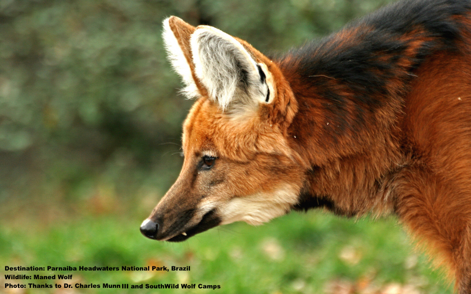 The maned wolf gets his name from the long black hair on his head, neck and shoulders. It stands up when he is excited giving the impression of a mane.   Image: Thanks to Dr. Charles Munn III and SouthWild Wolf Camps.
