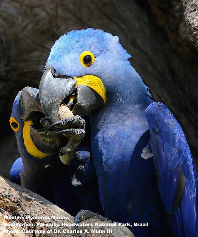 Hyacinth macaw, once numbering in the hundreds of thousands, were almost wiped out by wildlife traffickers, today those one-time traffickers are protectors. This is how responsible wildlife tourism makes a difference. Image: Thanks to Dr. Charles A. Munn III and SouthWild Wolf Camps.