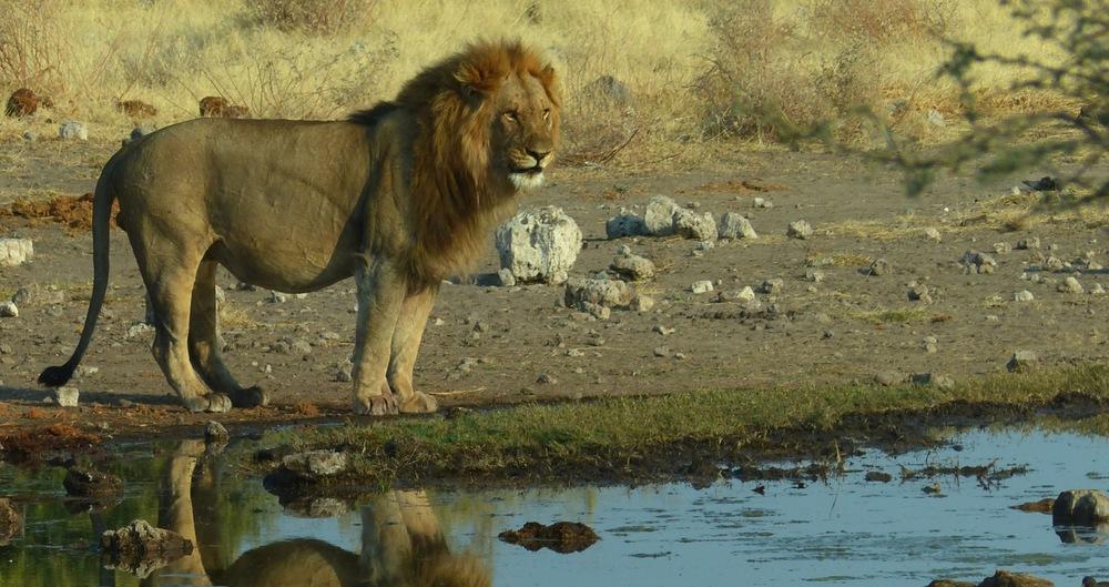 Lion-Credo-Destination-Wildlife.jpej