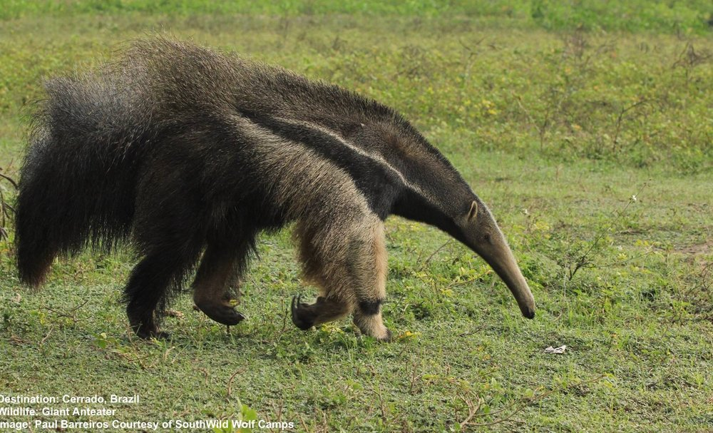 USUALLY PASSIVE GIANT ANTEATERS WALK ON THEIR KNUCKLES TO PROTECT ITS CLAWS - BUT WATCH OUT! WHEN ALARMED THEY STAND UP-RIGHT BALANCED ON THAT MUSCULAR TAIL, THOSE CLAWS CAN TAKE-OUT A JAGUAR!  IMAGE: PAUL BARREIROS COURTESY OF SOUTHWILD WOLF CAMPS.