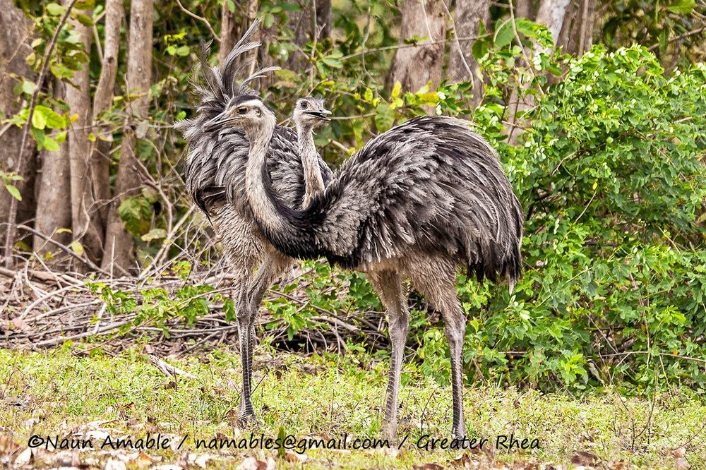 "THE GREATER RHEA IS THE WESTERN HEMISPHERES LARGEST BIRD. THEY ARE FLIGHTLESS, LIKE THE AFRICA'S OSTRICH. EMAS NATIONAL PARK WAS NAMED FOR THIS RESIDENT, ""EMAS"" MEAS RHEA. IMAGE: ©NAUN AMABLE COURTESY OF SOUTHWILD WOLF CAMPS"