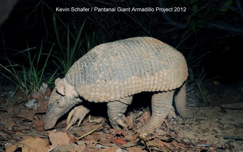 THE GIANT ARMADILLO IS ALSO CERRADO RESIDENT, AT UP TO 3.5 FT (106 CM) AND 72 LBS (33KG).  THIS GIANT LIVES UP TO HIS NAME! IMAGE: KEVIN SHAFER AND THE PANTANAL GIANT ARMADILLO PROJECT