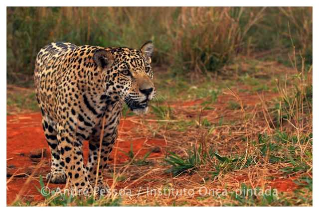 JAGUAR, THE BIGGEST CAT IN THE WESTERN HEMISPHERE, MAY HAVE NEW HOPE FOR SURVIVAL IN THE CERRADO'S GRASSLANDS THANKS TO A RECENT AGREEMENT BETWEEN FARMERS, RANCHERS AND CONSERVATIONISTS.  NEAR EMAS NATIONAL PARK, BRAZIL. IMAGE: ANDRE PESSOA FOR THE JAGUAR CONSERVATION FUND.