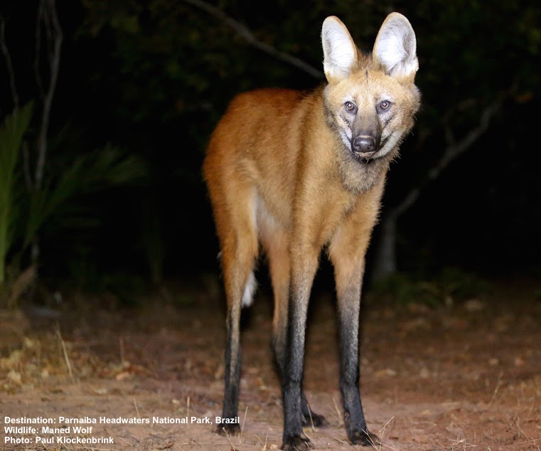 THIS MANED WOLF IS A NIGHT VISITOR TO THE WOLF CAMPS AT PARQUE NACIONAL DE CHAPADA DOS VEADEIROS ( PARNAIBA HEADWATERS NATIONAL PARK) BRAZIL. IMAGE: ©PAUL KLOCKENBRINK THANKS TO SOUTHWILD WOLF CAMPS.