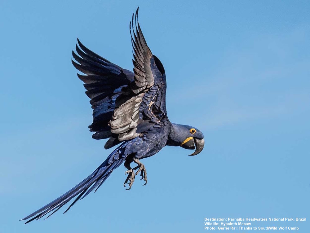 HYACINTH MACAWS WERE HUNTED ALMOST TO EXTINCTION. TODAY, FORMER TRAFFICKERS ARE THEIR BEST PROTECTORS. WATCH THEM FROM THE SPECIAL BLIND AT WOLF CAMP, PARNAIBA HEADWATERS NATIONAL PARK.   IMAGE: ©GERRIE RALL WITH THANKS TO  SOUTHWILD WOLF CAMPS