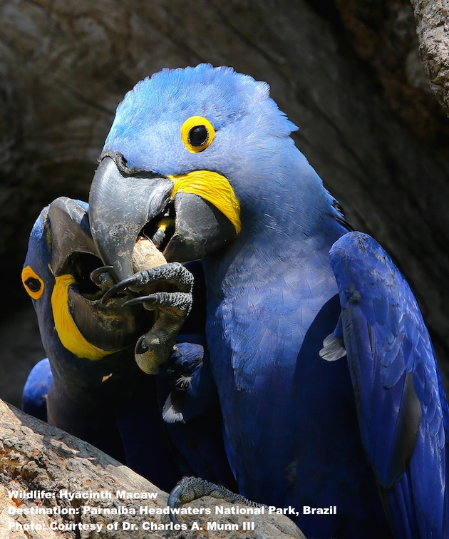 THE HYACINTH MACAW MAY HAVE SOME HEALTH SECRETS TO SHARE. THEY DO NOT DEVELOP HEART DISEASE FROM THEIR SUPER SATURATED FAT DIET. IMAGE: THANKS TO CHARLES A. MUNN III & SOUTHWILD WOLF CAMPS.