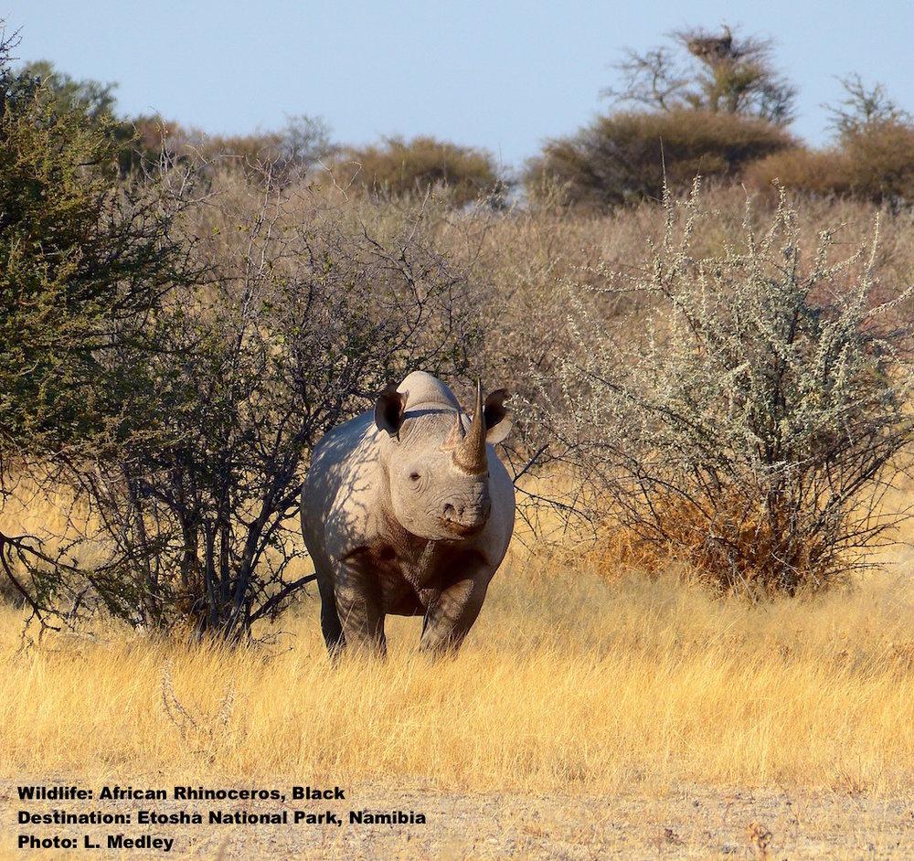 Black-Rhino-Etosha-National-Park-Namibia.jpg