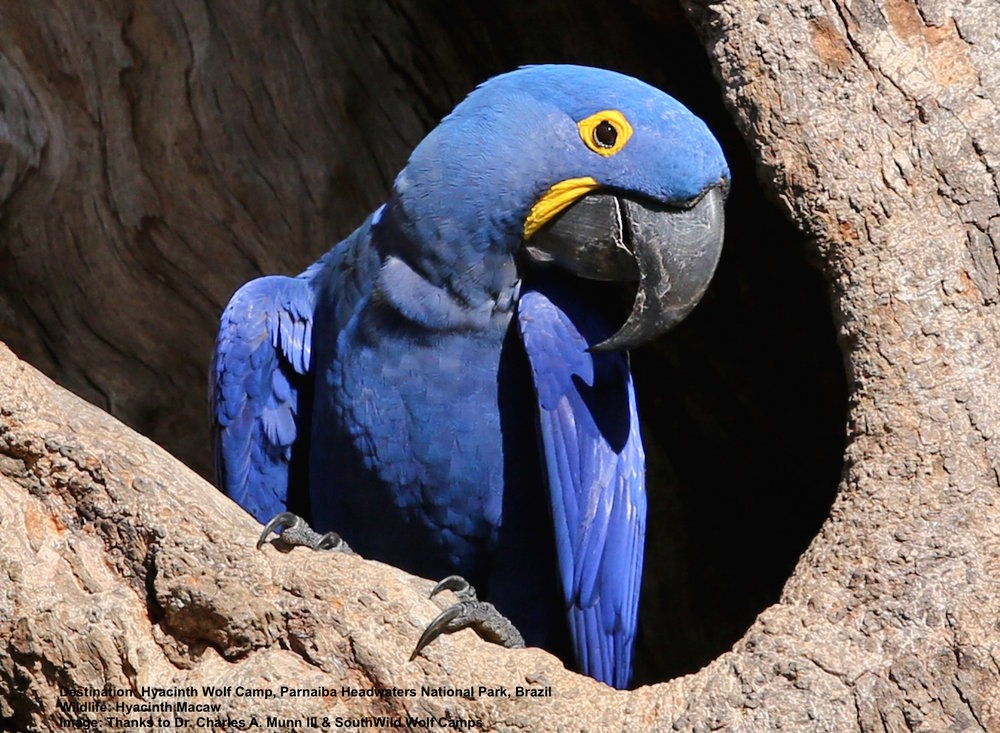 HYACINTH MACAWS ONCE NUMBERED IN THE HUNDREDS OF THOUSANDS - THEN THEY ALL BUT DISAPPEARED. BUT IN ONE CORNER OF BRAZIL'S CERRADO, FORMER TRAFFICKERS TURNED PROTECTORS ARE HELPING TO SAVE THEM THANKS TO THE ECONOMIC OPPORTUNITIES OF RESPONSIBLE WILDLIFE TOURISM. IMAGE: THANKS TO ©DR. CHARLES A. MUNN AND SOUTHWILD, BRAZIl.