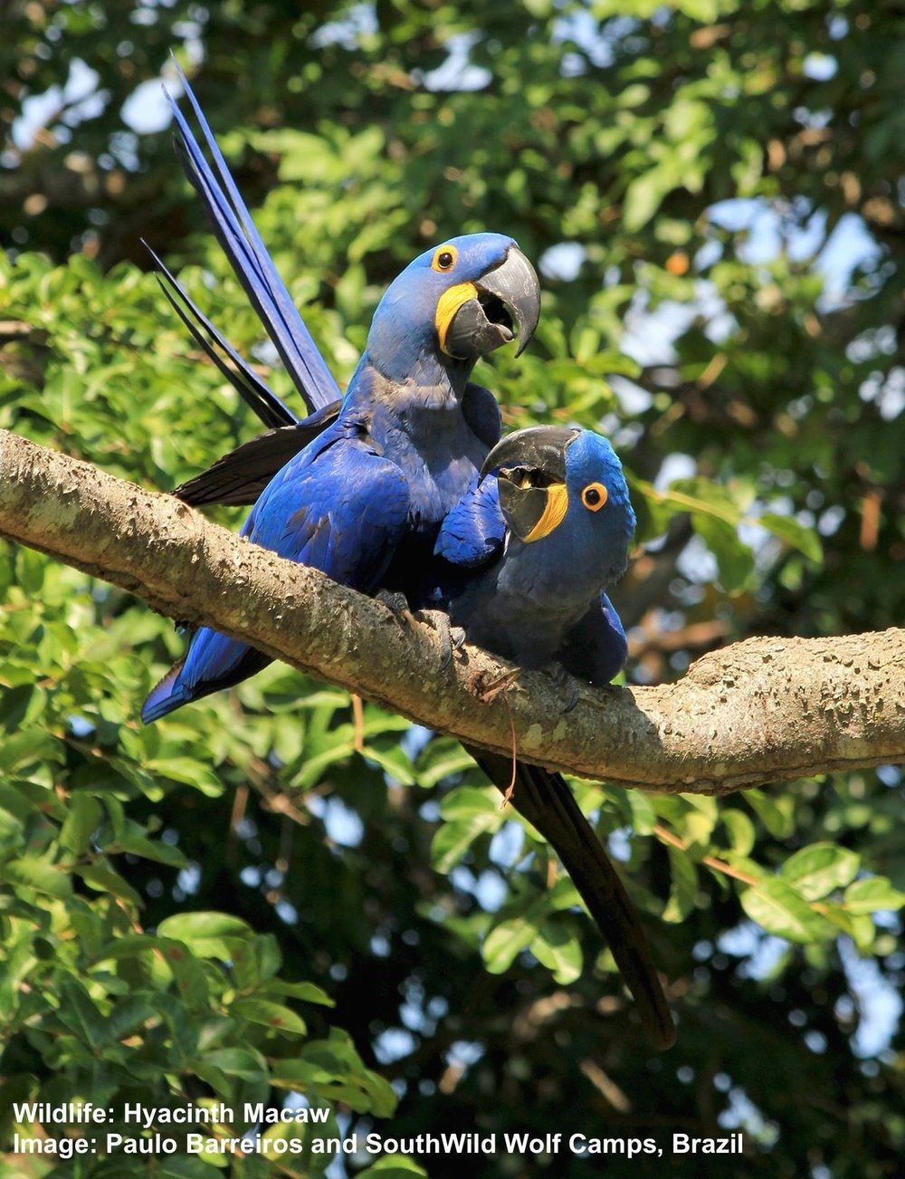 HYACINTH MACAWS AT AN INTIMATE MOMENT. IMAGE: ©PAULO BARREIROS THANKS TO SOUTHWILD, BRAZIL.