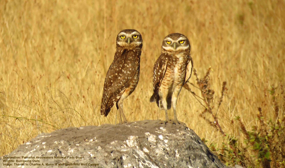 BURROWING OWL ONE OF OVER 800 BIRD SPECIES IN THE CERRADO. THEY ARE A FAMILIAR SIGHT FOR WOLF CAMP GUESTS. IMAGE: THANKS TO DR. CHARLES A. MUNN AND SOUTHWILD, BRAZIL.