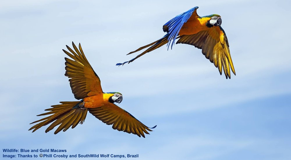 WHEN ONE SPECIES IS PROTECTED, ALL BENEFIT. BLUE & GOLD AS WELL AS GREEN-WINGED MACAWS, PLUS MANY OTHER BIRD AND ANIMAL SPECIES LIVE PEACEFULLY HERE FREQUENTING THE WOLF CAMPS AND DRAWING WILDLIFE PHOTOGRAPHERS FROM ALL OVER THE WORLD. IMAGE: ©PHILL CROSBY & SOUTHWILD, BRAZIL.