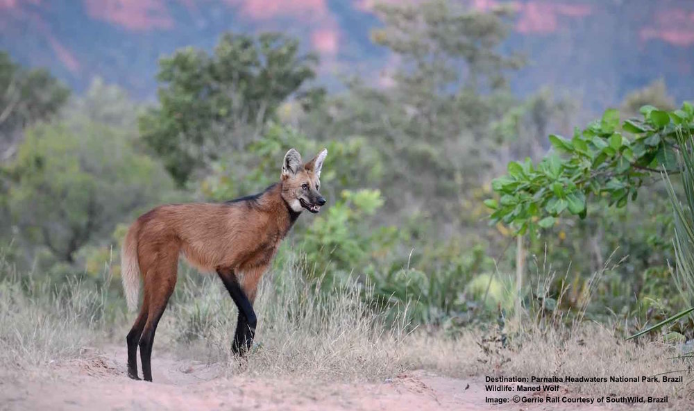 EVENINGS AT WOLF CLIFF CAMP BELONG TO THE MANED WOLF - AND YOU. IMAGE: ©GERRIE RALL, A WOLF CAMPS VISITOR, AND SOUTHWILD, BRAZIL.
