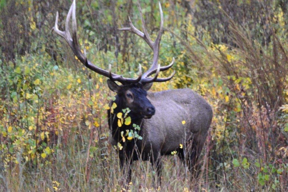 Elk-bugling-slippery-ann-national-wildlife-refuge.jpeg