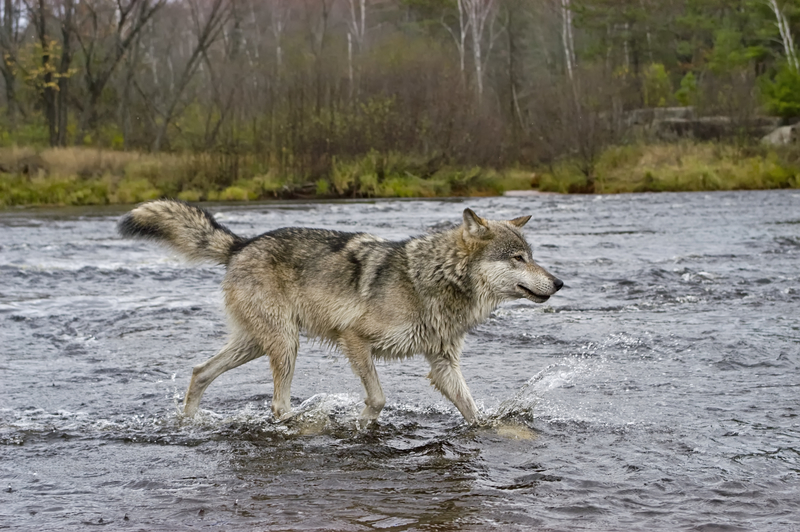 LONE GRAY WOLVES, LIKE THS ONE ON NORTHERN MINNESOTA, WILL TRAVEL HUNDREDS, EVEN THOUSANDS OF MILES IN THEIR QUEST TO FIND  A MATE. IMAGE: ©OUTDOORSMAN⎮DREAMSTIME.COM