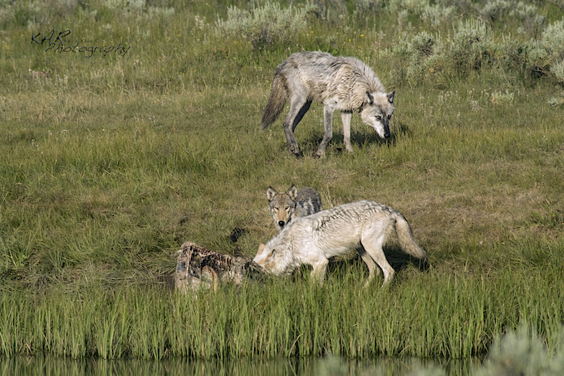 NOTICE TALL GRASS AT WATER'S EDGE. WOLVES HELP KEEP UNGULATES FROM OVER GRAZING OPEN AREAS INCLUDING RIVER & STREAM BANKS. STRENGTHENING THE BANKS KEEPS THE WATER CONTAINED. IT IS PART OF THE TROPHIC CASCADE EFFECT. YELLOWSTONE NATIONAL PARK, WYOMING IMAGE:  KAR PHOTOGRAPHY