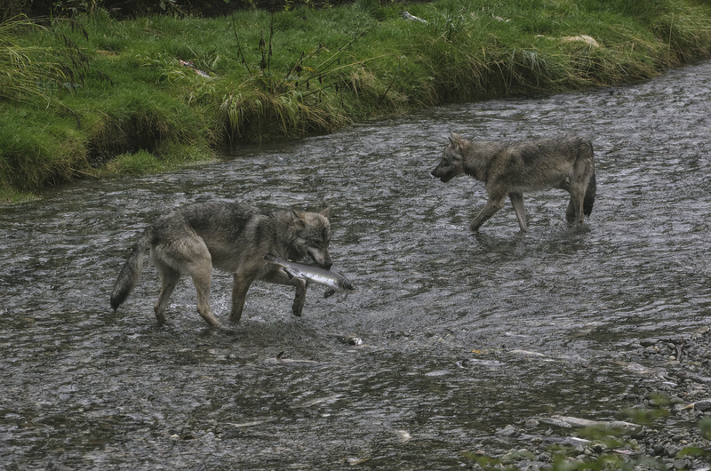 WOLVES IN CERTAIN AREAS ARE FISH EATERS, ESPECIALLY IN ALASKA WHERE SOME HAVE DEVELOPED A HEARTY APPETITE FOR FRESH SALMON.  IMAGE: © VANGOPHOTOS⎮DREAMSTIME.COM