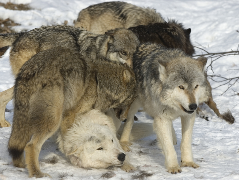 WOLVES ARE SOCIAL ANIMALS. PLAY BEHAVIOR, BOTH ALONE AND WITH OTHER PACK MEMBERS HAS BEEN WIDELY DOCUMENTED. PLAY BETWEEN PACK MEMBERS HELPS DEFINE AUTHORITY. PHOTOGRAPHED IN NORTHERN MINNESOTA.  IMAGE: ©OUTDOORSMAN⎮DREAMSTIME.COM