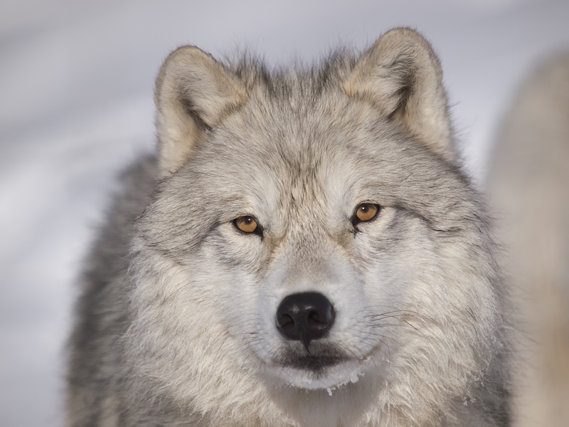 THE SMALLER EARS AND NOSES OF ARCTIC WOLVES HELP THEM KEEP WARM IN SUB-ZERO TEMPERATURES, THE OUTSIDE LAYER OF THEIR THICK COAT IS WATERPROOF. ARCTIC WOLVES HAVE BEEN KNOWN TO USE THE SAME DEN SITES GENERATION AFTER GENERATION, POSSIBLY OVER CENTURIES. IMAGE: ©ERICLEFRANCAIS⎮DEAMSTIME.COM
