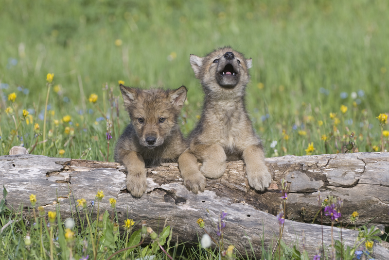 MUCH LIKE HUMAN INFANTS WOLF CUBS CAN BE NOISY, HOWLING AT ANYTHING, ANYTIME. AFTER A FEW MONTHS THEY LEARN THEIR PACK MATES VOICES AND SOME PROPER COMMUNICATION RULES. NEAR THEIR DEN IN MONTANA.  IMAGE::  ©OUTDOORSMAN⎮DREAMSTIMEMAGEO.COM