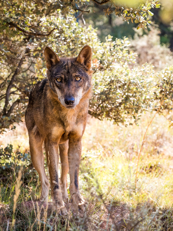 ECONOMIC BENEFITS OF WILDLIFE TOURISM IS HELPING IBERIAN WOLVES MAKE A COME BACK AFTER ALMOST BEING COMPLETELY WIPED OUT. IMAGE:  ©RAMON CARRETERO⎮DREAMSTIME.COM