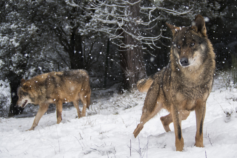 SIERRA DEL LA CULEBRA NEAR ZAMORA, SPAIN  IS ONE OF THE BEST PLACES TO SEE WILD IBERIAN WOLVES. WOLF WATCHING TOURS IN SPAIN ARE BECOMING VERY POPULAR, YOU MAY ALSO SEE WILD BOAR, ROE DEER, RED DEER, wild cat, GOLDEN EAGLES AND MORE. IMAGE: ©RAMON CARRETERO⎮ DREAMSTIME.COM