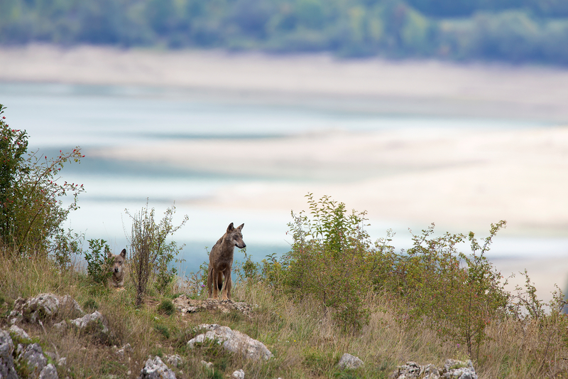 WILD APENNINE OR ITALIAN WOLVES NEAR ABRUZZO, ITALY. LAKE BARREA IS IN THE BACKGROUND. IMAGE: ©theripper⎮dreamstime.com