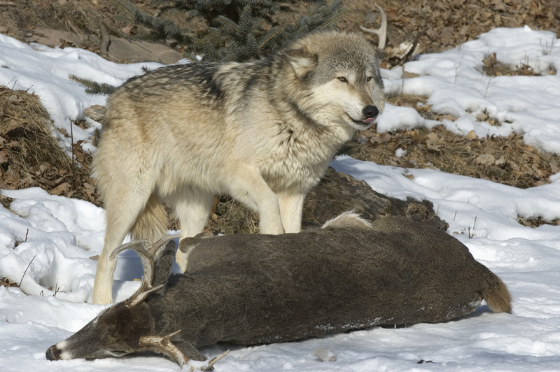 PACK LEADERS EAT FIRST, USUALLY CHOOSING THE HEART OR LIVER. WOLVES, LIKE THIS ONE IN MINNESOTA, PREY ON SMALLER, WEAKER ANIMALS. NOTE THE DEERS SMALL BODY AND ANTLER SIZE. IMAGE:  ©OUTDOORSMAN⎮DREAMSTIMES.COM