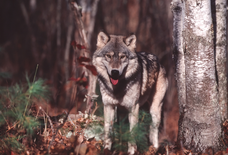 WILD WOLVES ARE ELUSIVE AND CAMERA SHY, BUT DO NOT LET THAT STOP YOU FROM A WOLF TREKKING ADVENTURE. THEY LIVE IN SOME OF THE MOST BEAUTIFUL NATURAL PLACES ON THE PLANET. AND YOUR WOLF WATCHING EXPERIENCE CAN HELP SAVE THEIR LIVES. IMAGE: OUTDOORSMANDREAMSTIME.COM