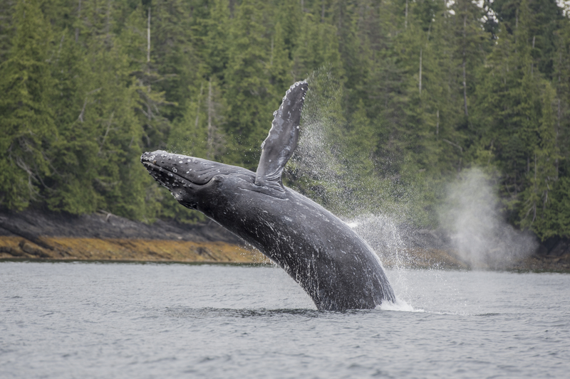 HUMPBACK WHALES COME CLOSE TO SHORE TO FEAST IN THE WATERS OFF PRINCE OF WALES ISLAND. WATCH THEM FROM LAND OR CATCH A RIDE WITH ONE OF THE ISLAND'S MANY FISHING BOAT CAPTAINS. IMAGE:  © AMBER NICHOLS ⎮dreamstime.com
