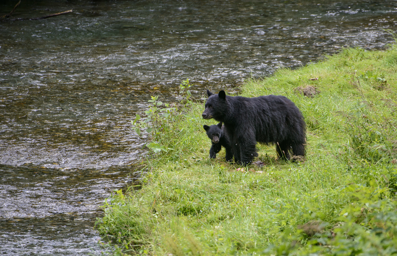 ANYWHERE THE SALMON OR BERRIES ARE FOUND, SO ARE THE BEARS! ENJOY THE VIEW, BUT ALWAYS STAY WELL BACK FROM BLACK BEARS, ESPECIALLY WHEN CUBS ARE NEAR. IMAGE  ©JORN VANGOLDSTENHOVEN ⎮DREAMSTIME.COM