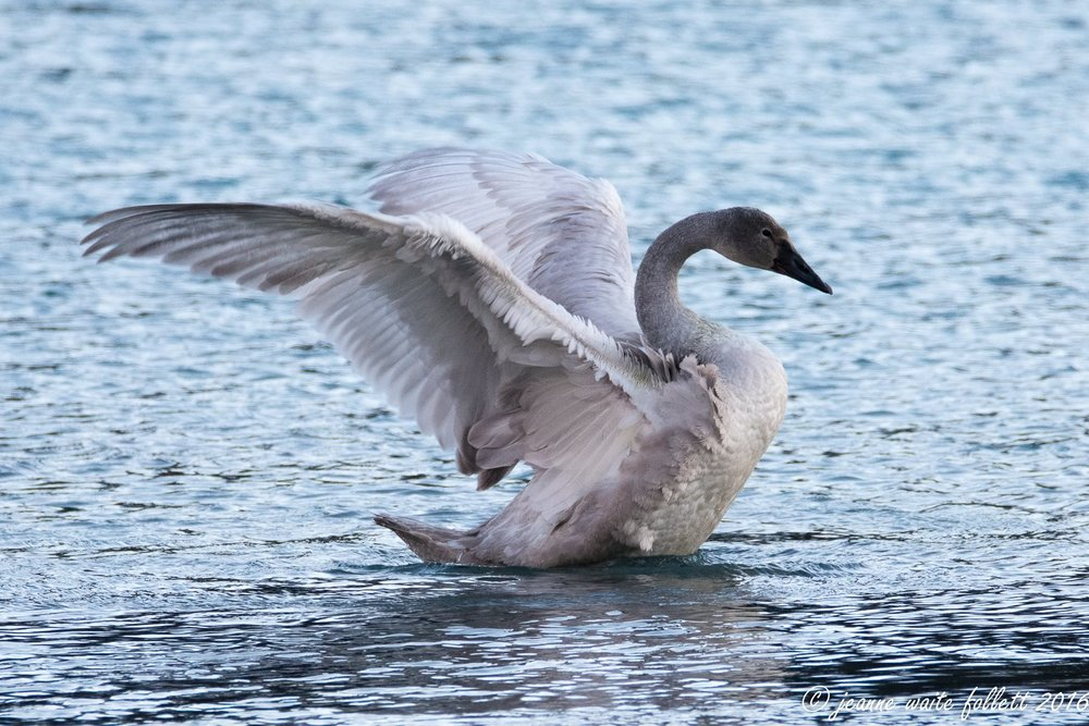 TRUMPETER SWANS WINTER ON PRINCE OF WALES ISLAND, APPEARING AROUND OCTOBER AND STAYING INTO JANUARY, SEE THEM AT BIG SALT LAKE AND OTHER STREAMS AND ESTUARIES .  IMAGE COURTESY OF  JEANNE WAITE FOLLETT