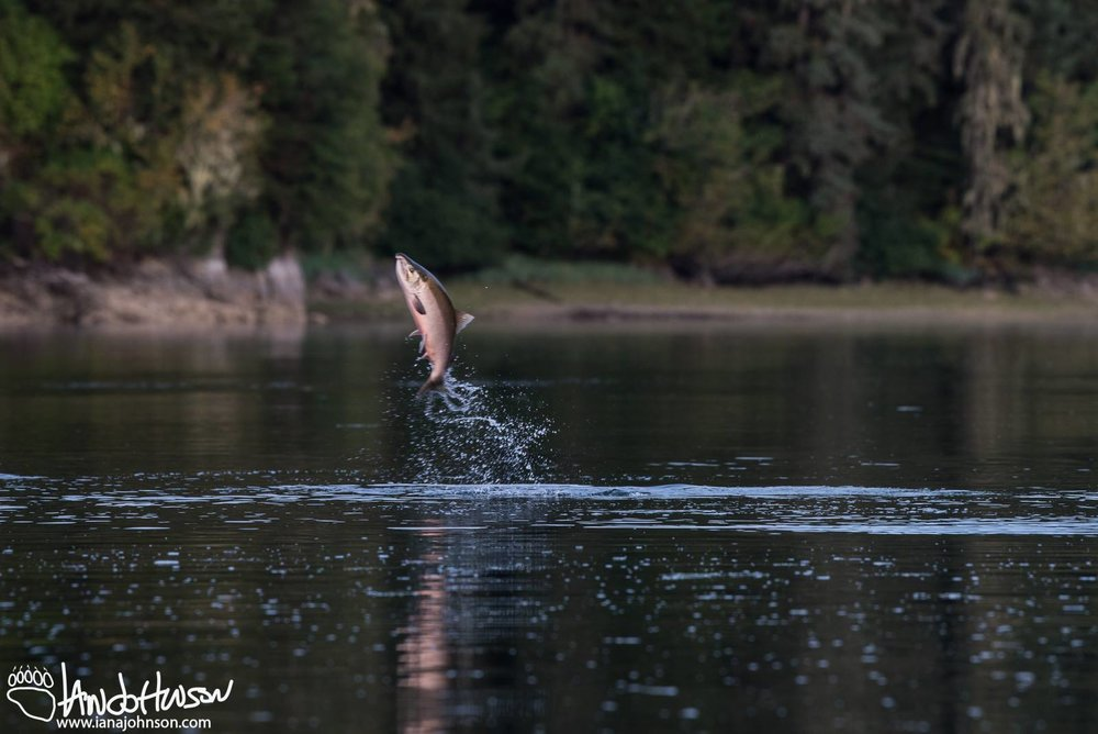 IT IS THOUGHT THAT SALMOM LEAP OUT OF THE WATER TO BREAK THE EGG SACKS, WHATEVER THE REASON, THEIR ATHLETICS ARE EXCITING TO WATCH! THIS IS A COHO OR SILVER SALMON.  (YOU CAN TELL THAT THIS FISH IS REACHING SEXUAL MATURITY BY THE PINK SHADING OF ITS BELLY.)   IMAGE:COURTESY OF  ©IAN   A. JOHNSON ,  WILDLIFE PHOTOGRAPHY