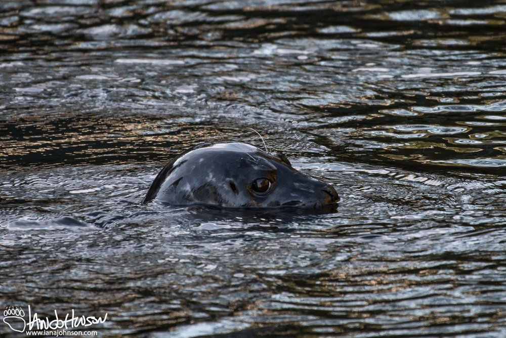 LOOK FOR HARBOR SEALS IN THE WATERS AROUND CRAIGE AND COFFMAN COVE. IMAGE: THANKS TO IAN A JOHNSON, WILDLIFE PHOTOGRAPHY