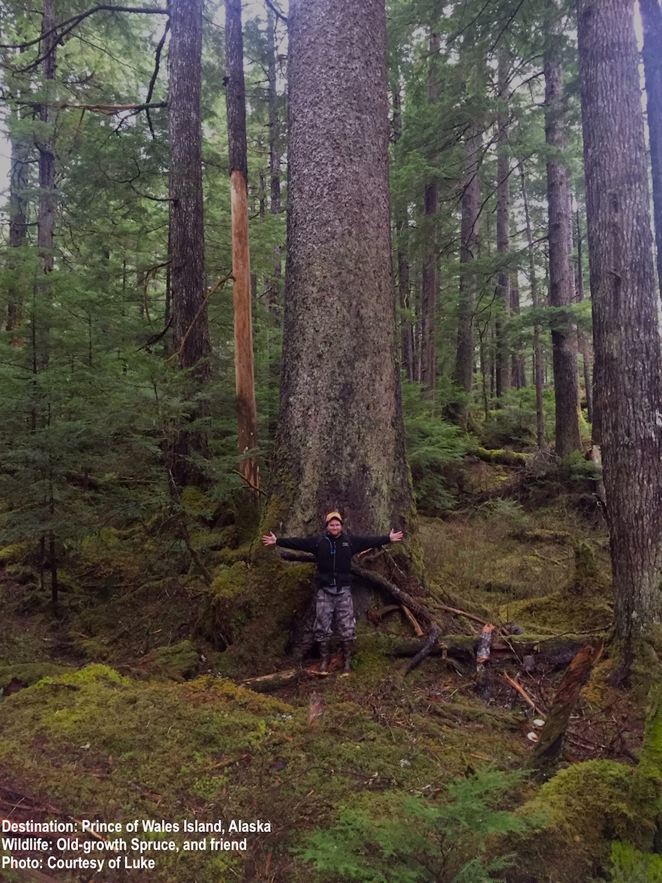 GIANT OLD-GROWTH SPRUCE CAN REACH SIX-FEET IN DIAMETER! IMAGE THANKS TO LUKE.