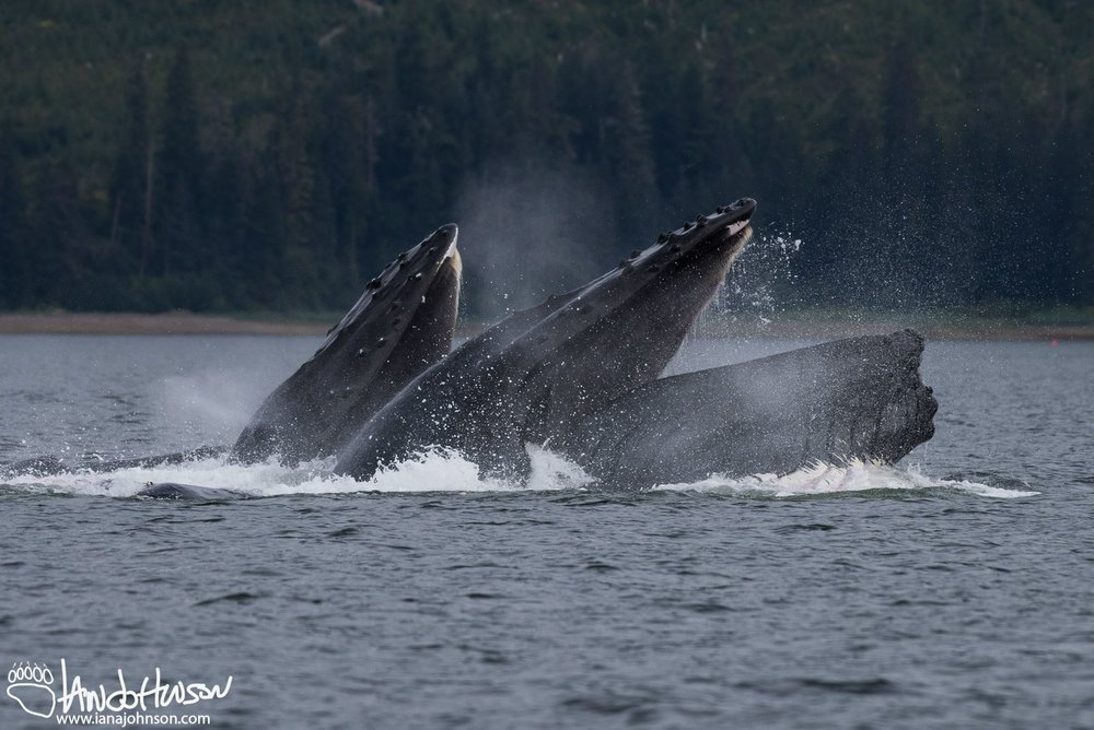 IT IS POSSIBLE TO WATCH HUMPBACK WHALES, IN THIS CASE BUBBLE FEEDING, FROM THE SHORE AND DOCK AT MANY POINTS ON PRINCE OF WHALES ISLAND.  IMAGE: COURTESY OF Ian A. Johnson, wildlife photography