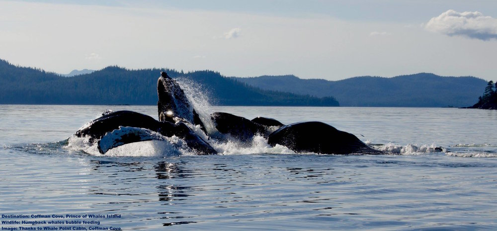 "THE HUMPBACK WHALES COMES SO CLOSE TO THE SHORE TO FEED THAT YOU CAN WATCH THEM FROM LAND  ON PRINCE OF WHALES ISLAND. THIS IMAGE OF HUMPBACKS ""BUBBLE FEEDING"" WAS TAKEN AT WHALE POINT CABIN, COFFMAN COVE. IMAGE: COURTESY OF WHALE POINT CABIN."