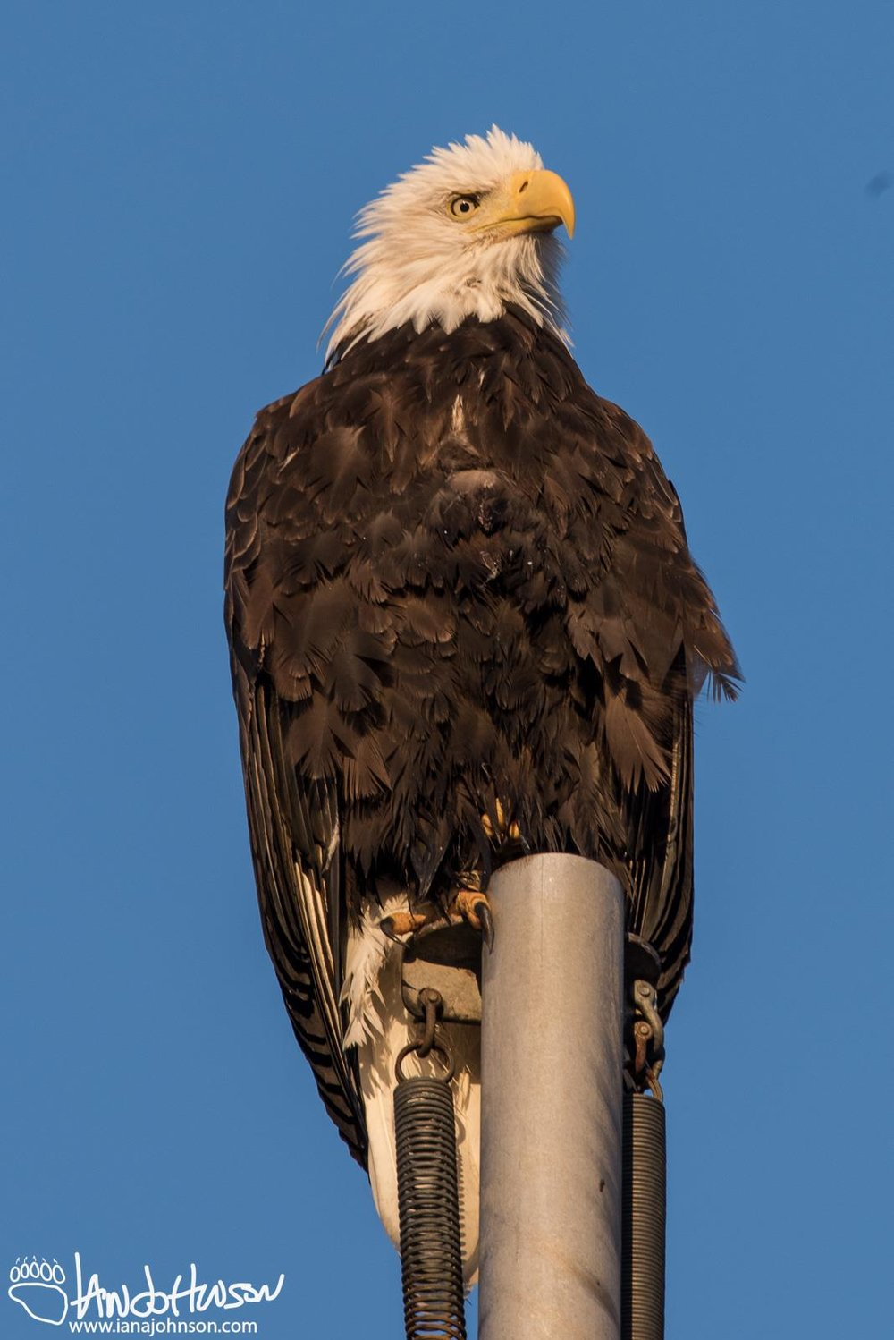 BALD EAGLES ARE ALL-YEAR RESIDENTS, BUT OTHERS SUCH AS SAND-HILL CRANES AND PUFFINS ARE MIGRANTS. IMAGE: IAN A. JOHNSON