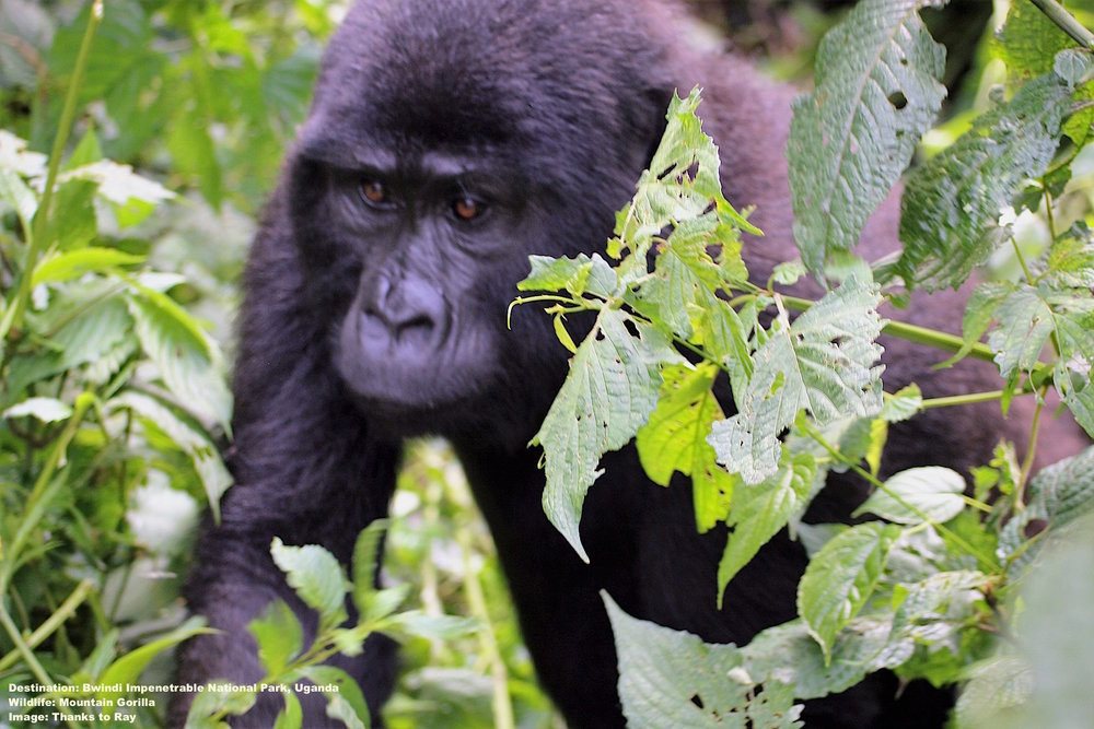 MOUNTAIN GORILLAS ARE CURIOUS, ESPECIALLY THE YOUNGSTERS MAKING SOMETIMES IT IS DIFFICULT TO KEEP THE PROPER DISTANCE. IMAGE: THANKS TO RAY