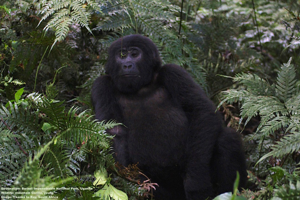 THE HABITUATION PROCESS CAN TAKE FROM TWO TO THREE YEARS UNTIL THE GORILLAS (AND HUMANS) ARE RELAXED ENOUGH TO BE TRUSTED - WITHIN PARAMETERS, OF COURSE. IMAGE: THANKS TO RAY.