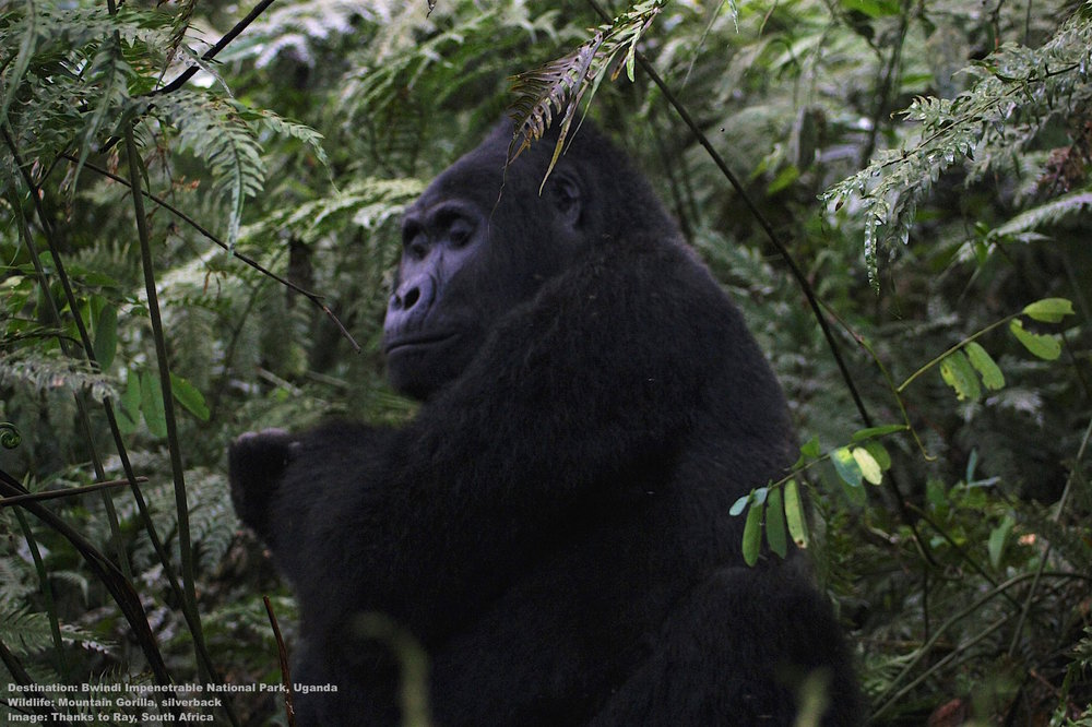 Bwindi-Impenetrable-forest-national-park-uganda-mountain-gorilla-HRC.jpg